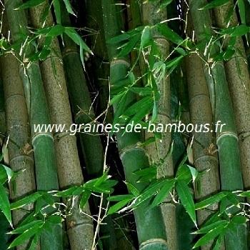 Bambou dendrocalamus strictus 100 graines