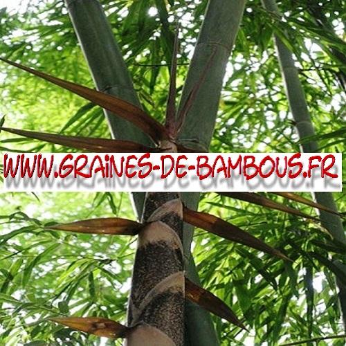 bambou-dendrocalamus-strictus-1000-graines-www-graines-de-bambous-fr.jpg