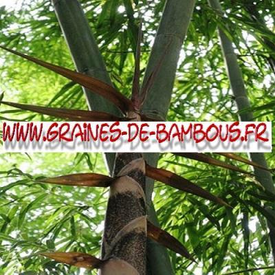 Bambous Dendrocalamus Strictus 1000 graines