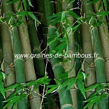 Bambou dendrocalamus strictus 30 graines