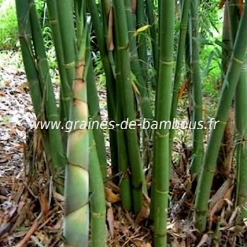 Bambou dendrocalamus yunnanenicus