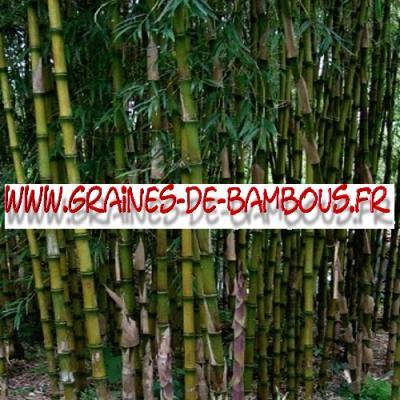 Bambous Chusquea Couleou 1000 graines