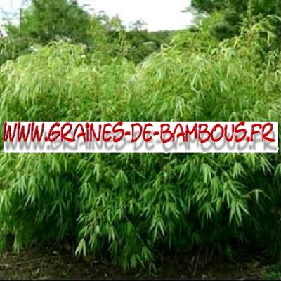 Bambous Fargésia sp.Fungosa 1000 graines