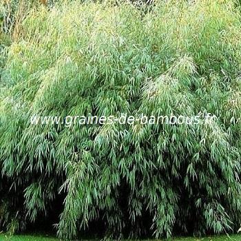 Bambou fargesia fungosa bamboo