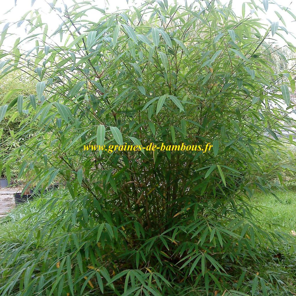 bambou-fargesia-gaolinensis-3-ans-www-graines-de-bambous-fr.jpg