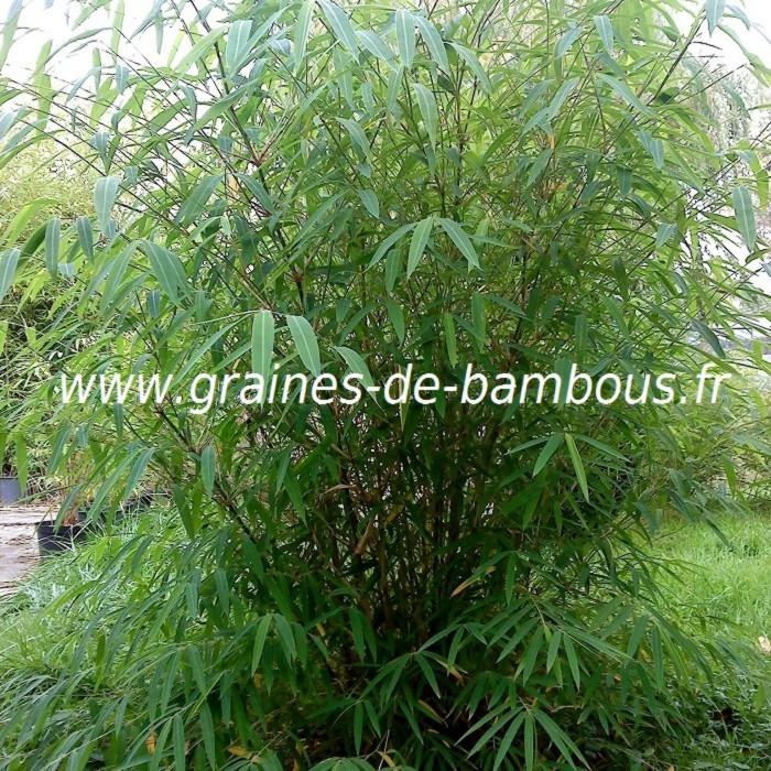 Bambou fargesia gaolinensis 3 ans