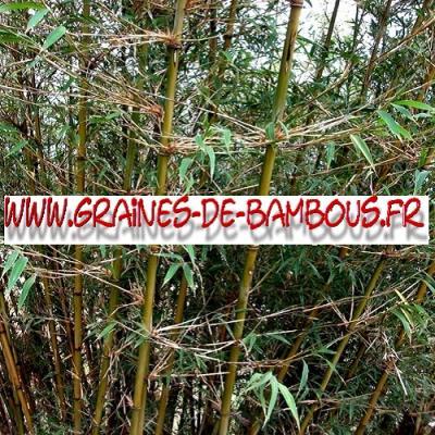 Bambous Fargésia sp.Gaolinensis 1000 graines
