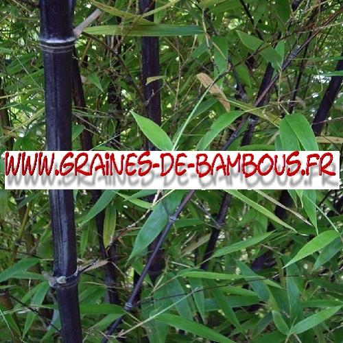 bambou-fargesia-noir-albocerea-black-1000-graines-www-graines-de-bambous-fr.jpg