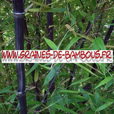 Bambous Fargésia sp.''Albocerea black'' 1000 graines