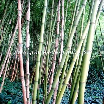 Bambou fargesia papyrifera 4