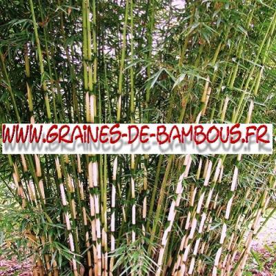 Bambous Fargésia sp.Yunnanensis 1000 graines