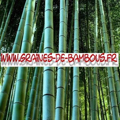 Bambous Géants Moso 1000 graines