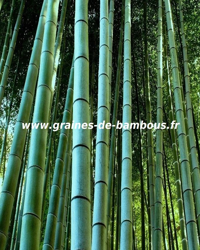 (c) Graines-de-bambous.fr