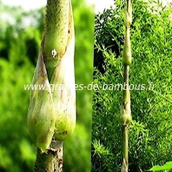 Bambou leptocanna chinensis