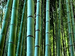 Bambou moso edulis pubescens