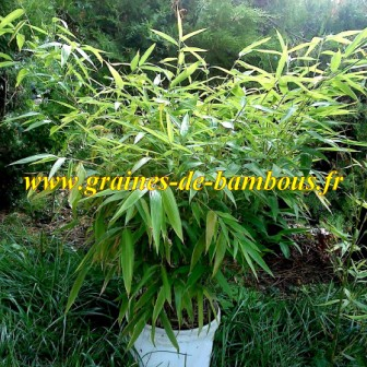 Bambou moso phyllostachys pubescens 25 litres