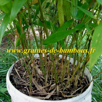 Bambou moso phyllostachys pubescens chaumes details