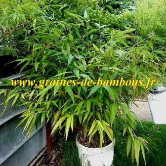 Bambou moso phyllostachys pubescens plant 25 litres