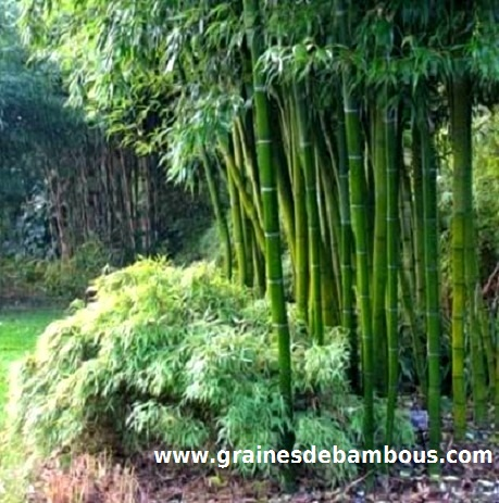 bambou-moso-phyllostachys-pubescens-site.jpg