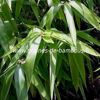 Oxytenanthera abyssinica réf.336
