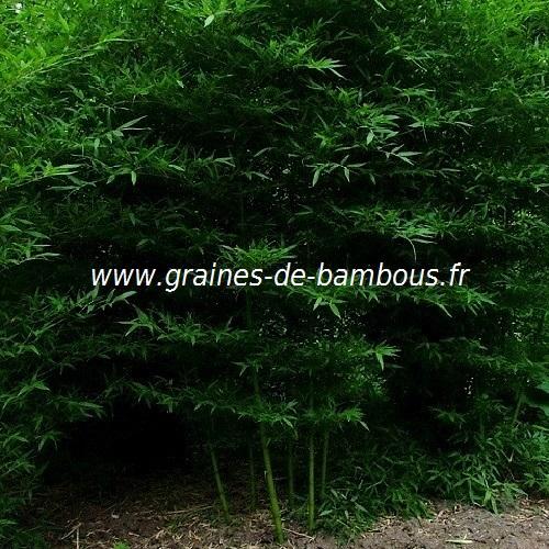 Bambou ph sulphurea v