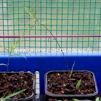 Bambou phyllostachys heteroclada semis