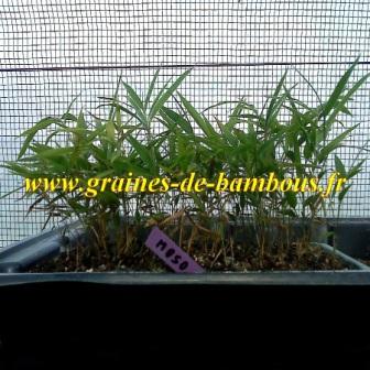 Bambou phyllostachys pubescens moso semis en serre