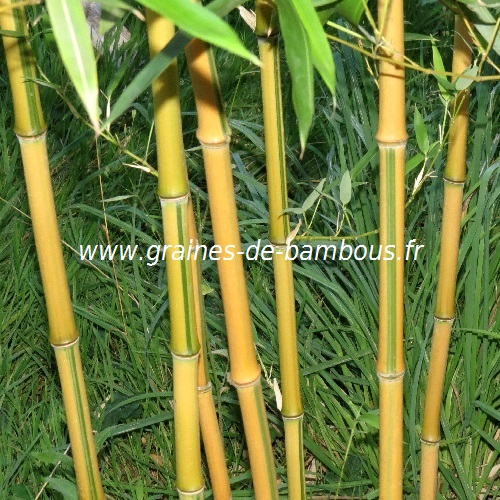 Bambou phyllostachys spectabilis graines