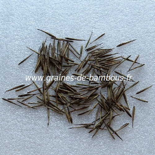 Bambou phyllostachys sulphurea viridis graines seeds