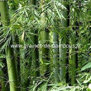Bambusa tulda réf.343