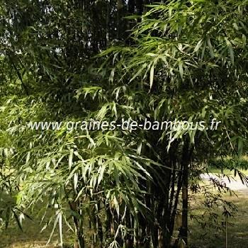 Bambou tuldoides feuilles