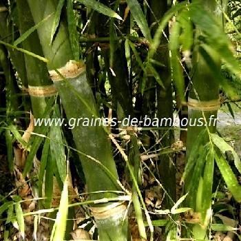 Bambusa tuldoides réf.344