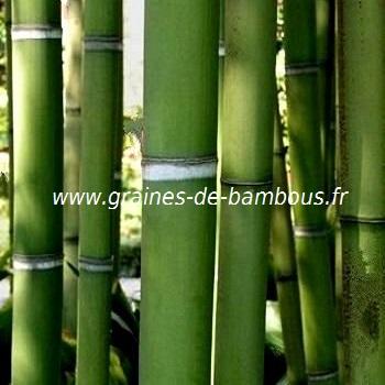 Bambou viridis sulphurea