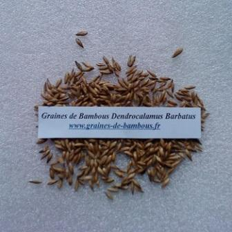 Bambou dendrocalamus barbatus 20 graines