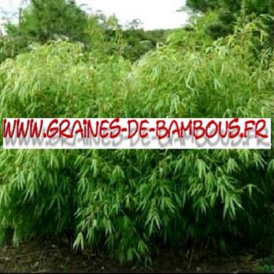Bambous Fargésia sp.Fungosa 500 graines