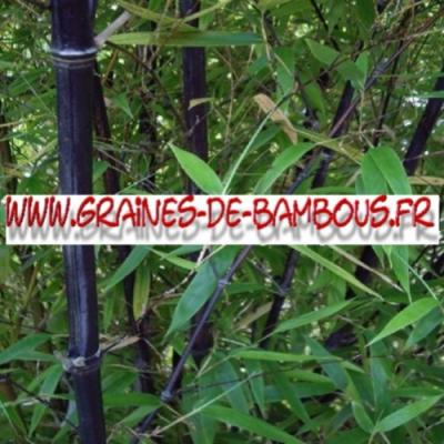 Bambous Fargésia sp.''Albocerea black'' 500 graines
