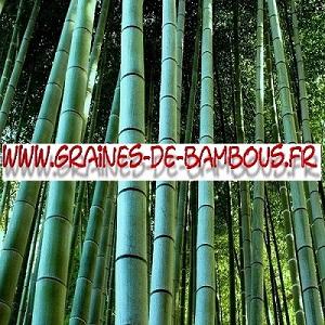 Bambou geant moso pubescens 40000 graines www graines de bambous fr