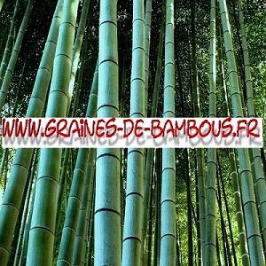 Bambous Géants Moso 40000 graines