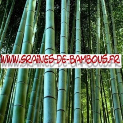 Bambous Géants Moso 500 graines