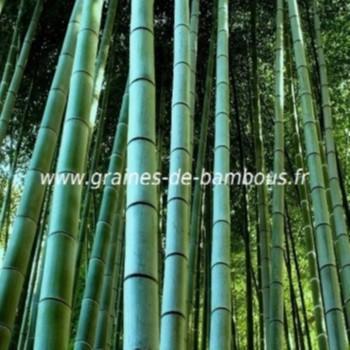 Bambous Géants Moso 30 graines réf.031