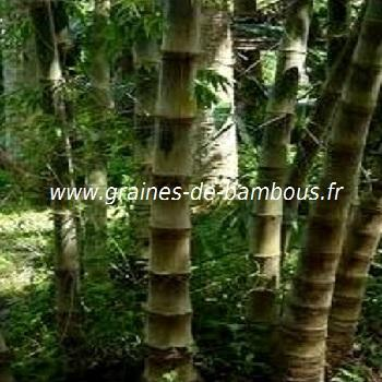 Dendrocalamus Asper 50 graines réf.333a