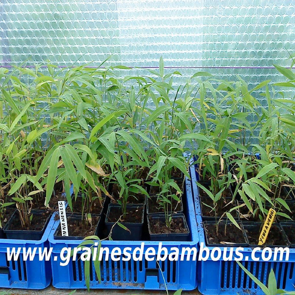 bambous-fargesias-yunnanensis.jpg