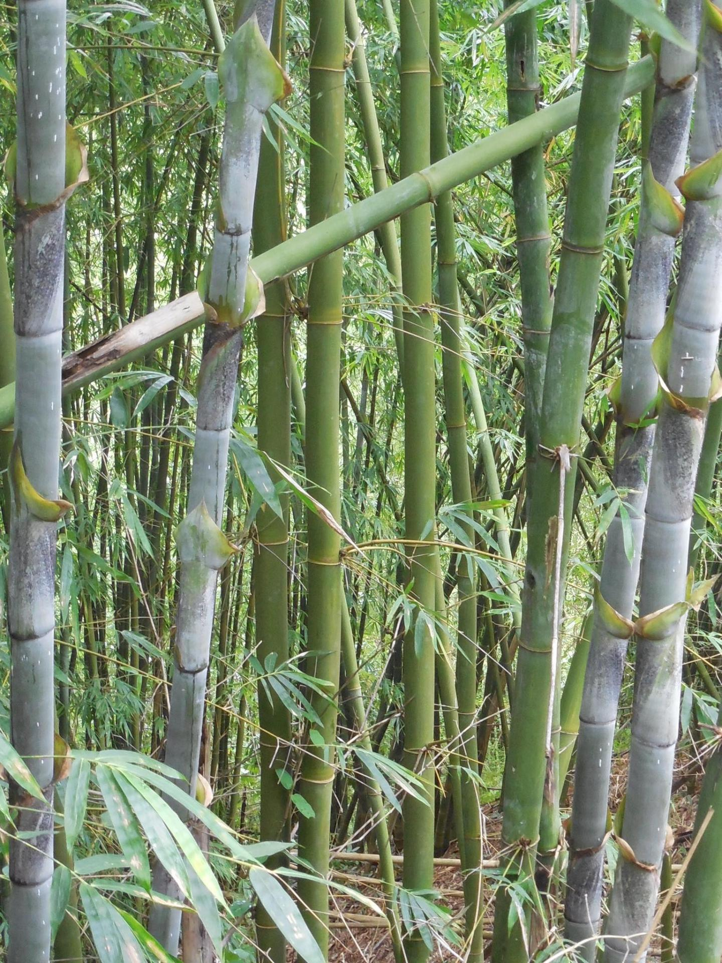 Bambusa longinternode