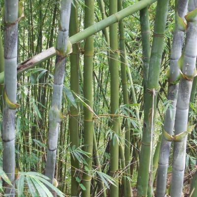 Bambusa longinternode réf.316