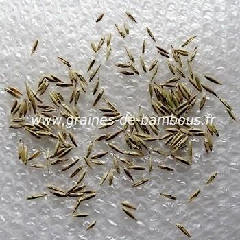 Bambusa tuldoides graines de bambous fr