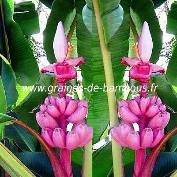 Bananier Musa Velutina rose réf.06