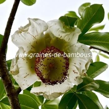 Baobab adansonia digitata fleur