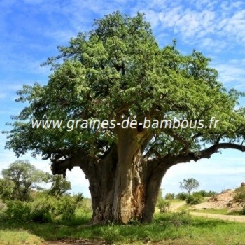Baobab adansonia digitata graines
