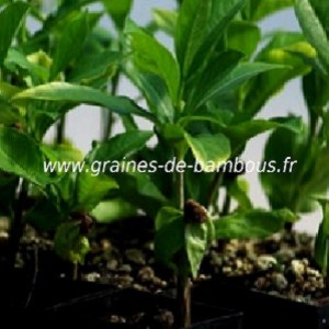 Baobab adansonia digitata plant graines de bambous fr