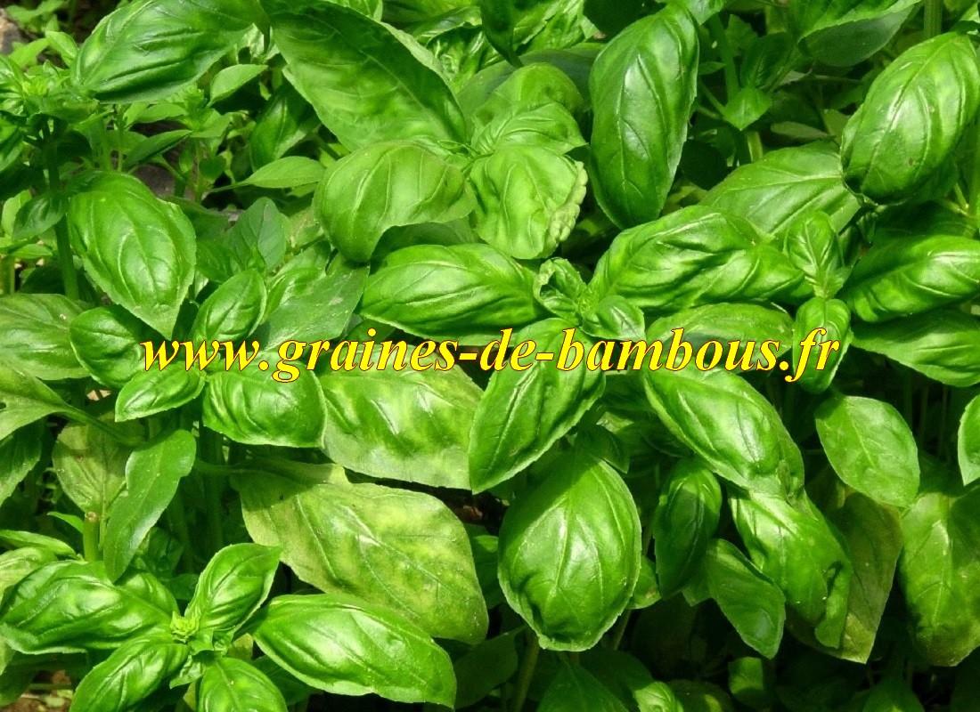 Basilic vert graines semis
